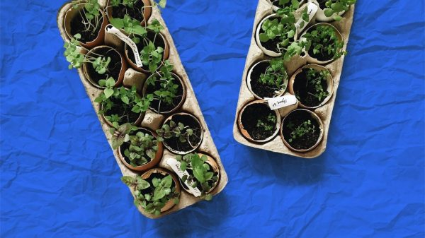 sprouting plants that have been potted in an egg tray